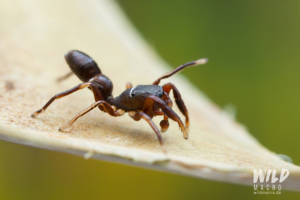 Synageles venator ant-mimicking jumping spider using legs as antennae