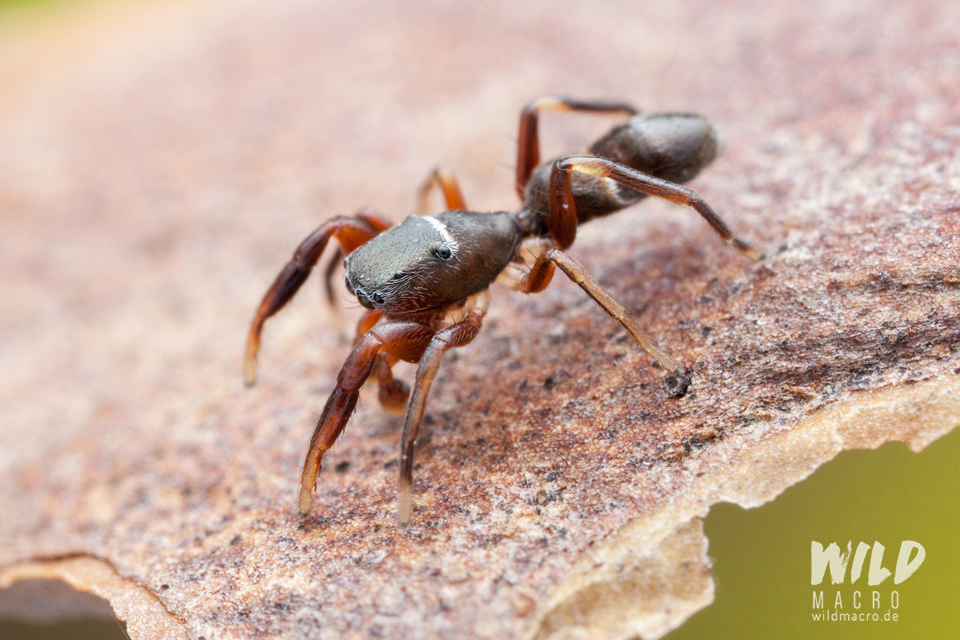 Synageles venator jumping spider mimicking an ant