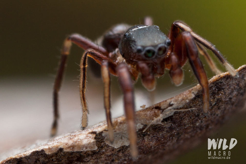 Detail of translucent leg of Synageles venator Jumping spider
