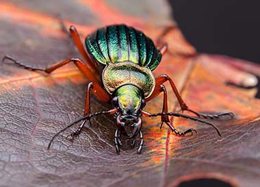 carabus beetle photgraphed with the LAOWA 100mm 2:1 macro lens
